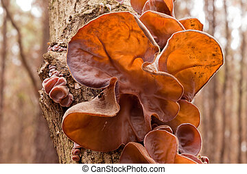Jews Ear fungus Auricularia auricula-judae on wood - Edible...