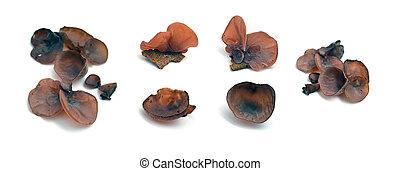 jew's ear mushroom - auricularia auricula-judae mushroom,...