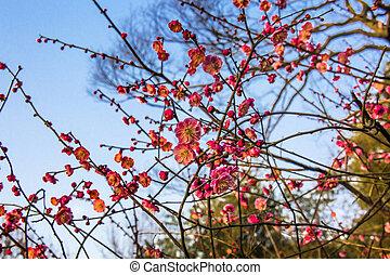 jiangsu, oeste, ciruela, lago, hangzhou, china, flores