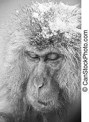 Jigokudani snow monkey bathing onsen hotspring famous...