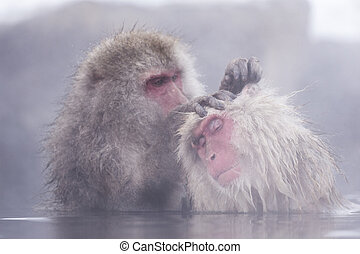 Jigokudani snow monkey bathing onsen hotspring famous...