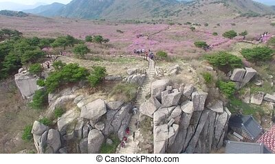 Jindallae Azalea Blossom Blooming in Biseul Mountain, Daegu,...