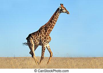 jirafa, africano, llanuras