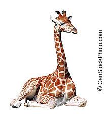 jirafa, aislado, sentado