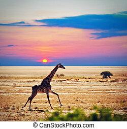 jirafa, en, savanna., safari, en, amboseli, kenia, áfrica