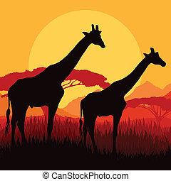 jirafa, familia , siluetas, en, áfrica, salvaje, naturaleza,...