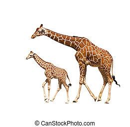 jirafa, (giraffa, camelopardalis)