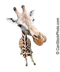 jirafa, primer plano, retrato, aislado, en, white., punta la vista, de par en par, lente, disparo.