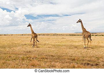 jirafas, en, sabana, en, áfrica