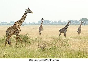 jirafas, en, serengeti