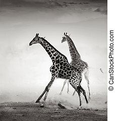 jirafas, huir