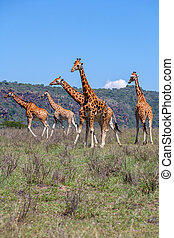 jirafas, manada, en, sabana