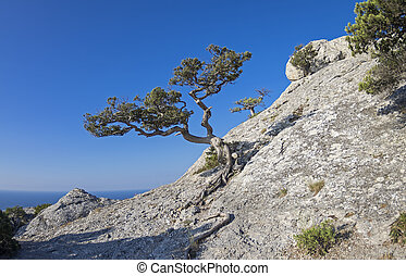 Jjuniper tree on the mountainside. - Relic juniper tree on...