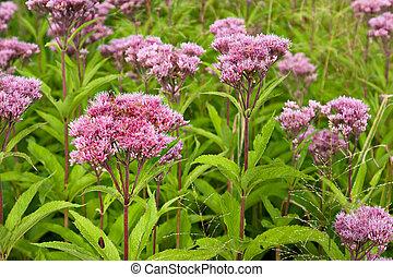 joe, pye, mala hierba, flores salvajes, (eutrochium)