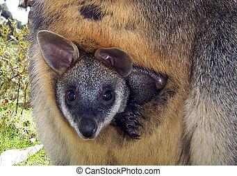 Joey Kangaroo - Wildlife park in Victoria Australia
