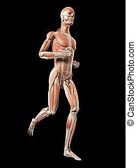 jogger, mann, -, system, muskel