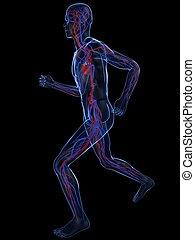 jogger, -, systém, cévní