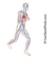jogger - vascular system - 3d rendered illustration of a...