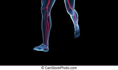 Jogger with visible blood vessels - Animation showing a...