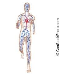 joggeur, -, système, vasculaire