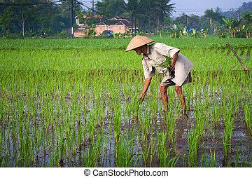 jogjakarta, el tender, may., viejo, planta de semillero, poder, indonesia, joven, jogjakarta, indonesia., el suyo, campo, granjero, 2010, 15, arrozal