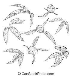 jogo, de, bonito, preto branco, peony, folhas, e, brotos, isolado, ligado, white.