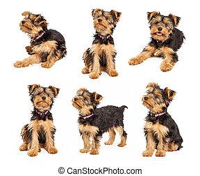jogo, de, cute, terrier yorkshire, filhote cachorro, fotografias