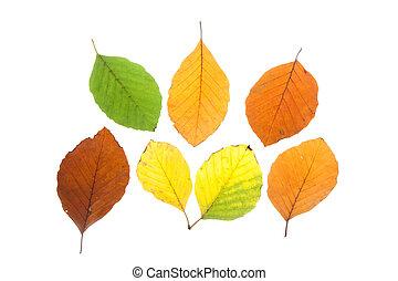 jogo, de, faia, folhas, em, diferente, cores baixa