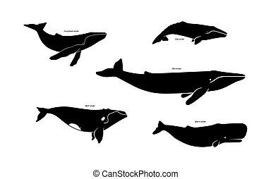 jogo, isolado, ícones, espécie, fundo, vetorial, Ilustração, branca, baleia