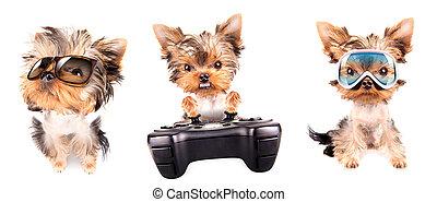 jogo, terrier, filhote cachorro, yorkshire