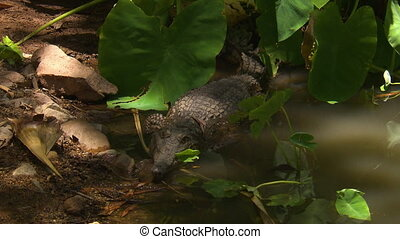 Wide high angle shot of a Johnston's freshwater crocodile lying in shallow water