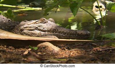 Johnston's crocodile lying on the bank of a pond - A...