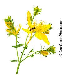 johnsworthypericum, perforatum, s., común