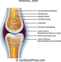 joint, geëtiketteerde, anatomy., illustration., normaal