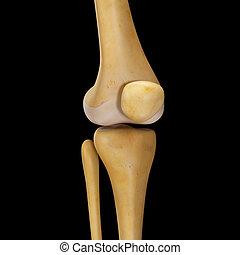 jointure genou