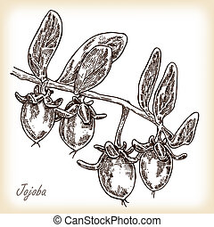 Jojoba fruit. Hand drawn vector illustration in sketch style