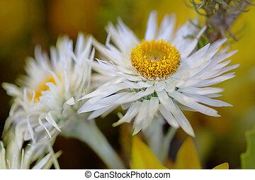 joli, fleurs blanches, centre, yelllow
