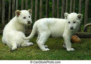 jong, leeuw, witte