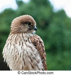 jonge, algemeen, torenvalk, (falco, tinnunculus)