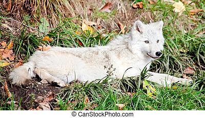 jonge, arctische wolf, liegen beneden, op, een, vallen dag