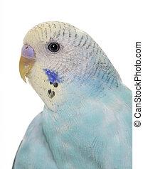 jonge, blauwe , budgerigar