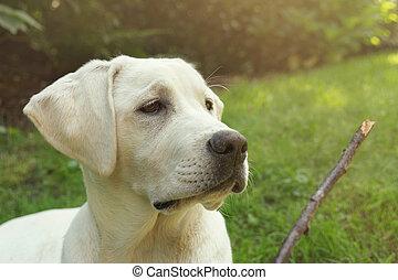 jonge, dog, puppy, kijken naar, haar, speelbal