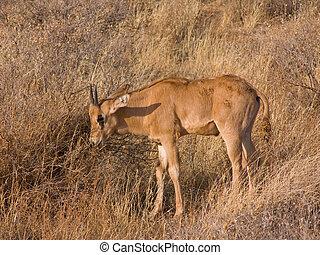 jonge, gemsbok, kalf, (oryx), afrikaan antilope, in, de, wild, savanne