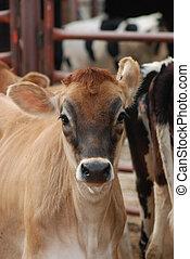 jonge, koe