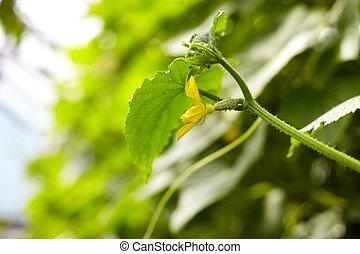 jonge, komkommer, plant