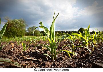 jonge, koren, groeiende, op, een, akker