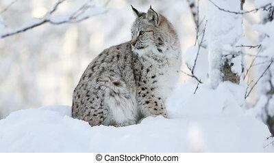 jonge, lynx, welp, in, de, koude, winter, bos