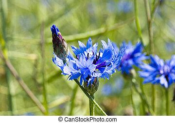 jonge, mais bloem, op, lente, meadow.