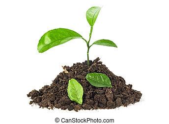 jonge plant, in, terrein, met, fallen loof, op wit, achtergrond