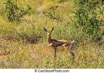 jonge, spel, impalas, vrouwlijk, impala, samburu